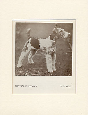 Wire Fox Terrier Standing Named Dog Old 1934 Print Mounted Ready To Frame