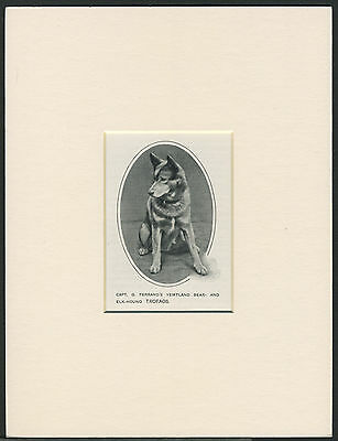 Norwegian Elkhound Old 1912 Antique Named Dog Print Mounted Ready To Frame