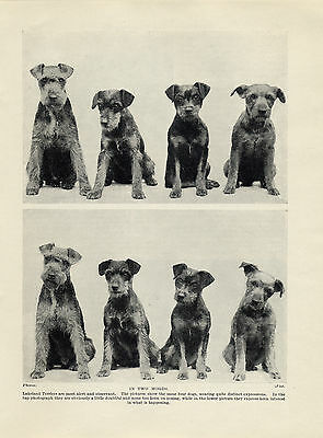 Lakeland Terrier Dog Group Charming Old Original Dog Print From 1934