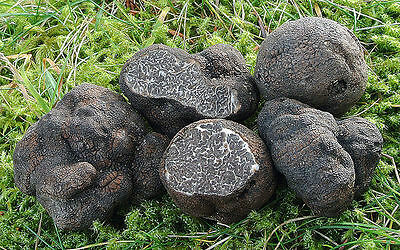 10 g Black OREGON TRUFFLE Seeds Tuber oregonense Mushroom Mycelium Spawn Spores
