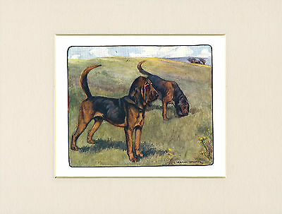 BLOODHOUND DOGS LOVELY 1905 ANTIQUE DOG PRINT by VERNON STOKES READY MOUNTED