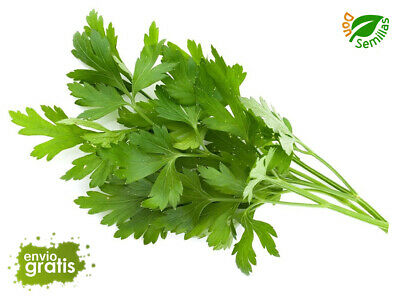 Perejil Comun Hoja Lisa  ( 1.200 semillas seeds ) salsa parsley persil