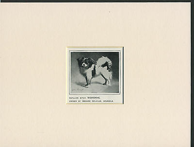 Papillon Old 1912 Antique Named Dog Print Mounted Ready To Frame