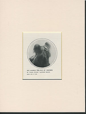 Skye Terrier Old 1912 Antique Named Champion Dog Print Mounted Ready To Frame