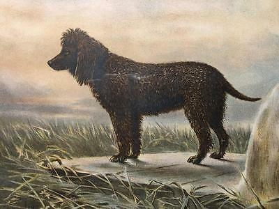 Irish Water Spaniel Vero Shaw Dog Chromolithograph Cassell London 1881 Framed
