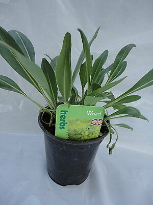 Woad herb plant natural dye for wool and fabric 9cm pot