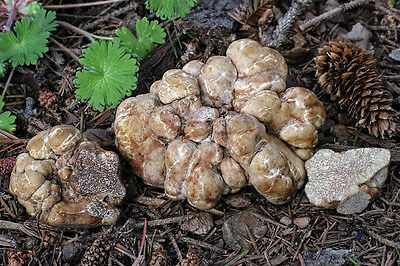 10 g WHITE OREGON TRUFFLE Spawn Tuber oregonense Mycelium Mushroom Seeds Spores