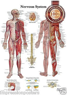 New The Nervous System Anatomical Body Diagram Guide Chart Print Premium Poster