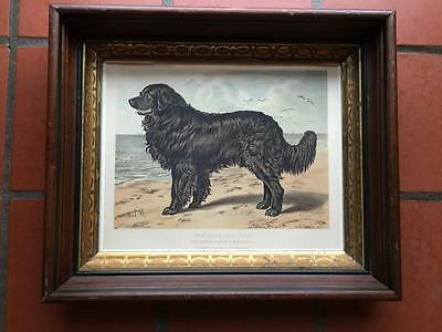 Newfoundland Vero Shaw Dog Chromolithograph Cassell London 1881 Period Frame