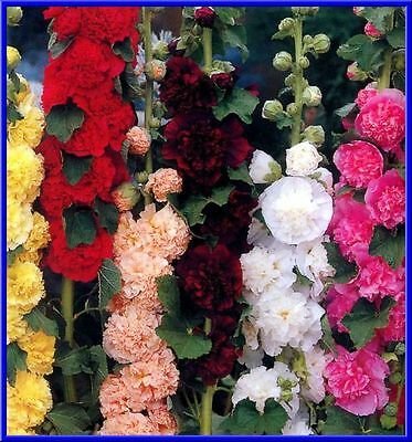 Hollyhock seed Chater/'s Double Mix 40 seeds Heirloom Fresh seed