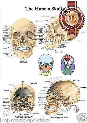 New The Human Skull Anatomy Anatomical Diagram Guide Chart Print Premium Poster