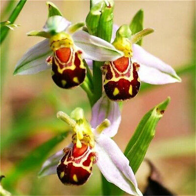 Rare!! Seeds Flower Smile Face Bee Orchid Flower Seeds Free Ship 10PCs♫