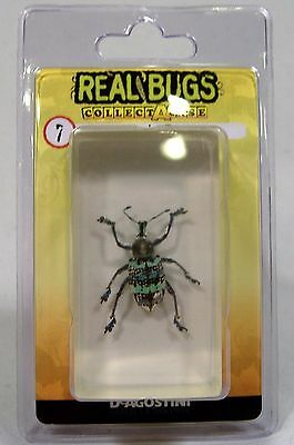 DeAGOSTINI REAL BUGS CURCULOINID BEETLE REAL BUGS LUCITE NEW GUINEA ENTOMOLOGY