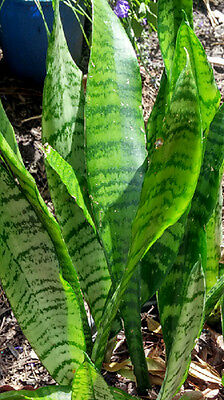 """Sanseviera trifasciata """"GREEN mother in laws tongue"""""""