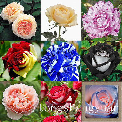 Free Shipping High Survival Rose Seeds 60 PCS Flower Seed Outdoor Garden Plants