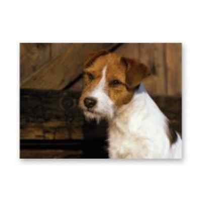 Parsons Rough Haired Jack Russell Terrier Card