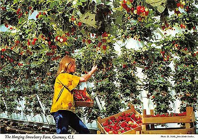 Guernsey C Postcard Hanging Strawberry Farm  042