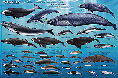 Whales Laminated Sealife Educational Science Ocean Chart Print Poster 24x36