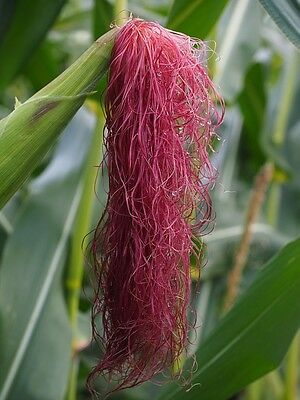 20 WINE RED CORN Zea Mays Dark Red Ornamental & Edible Vegetable Seeds *Comb S/H