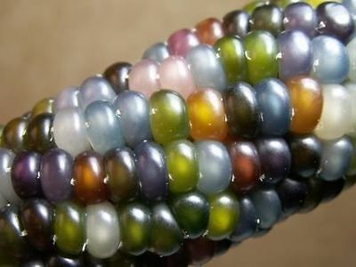 15 MINI Mixed Colors GLASS GEM CORN Miniature Ornamental & Edible Zea Mays Seeds