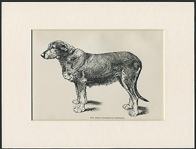 IRISH WOLFHOUND NAMED DOG RARE OLD 1890's ANTIQUE PRINT READY MOUNTED