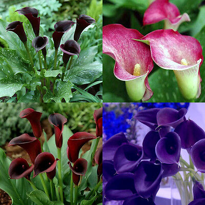 2pcs Rare Colorful Calla Lily Bulbs Flower Roots and it is not seed
