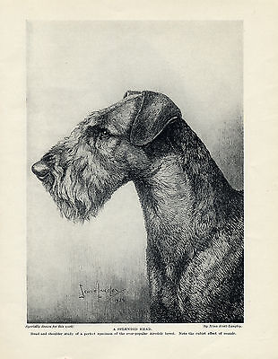 Airedale Terrier Original Vintage Dog Print Page 1934 Lovely Head Study