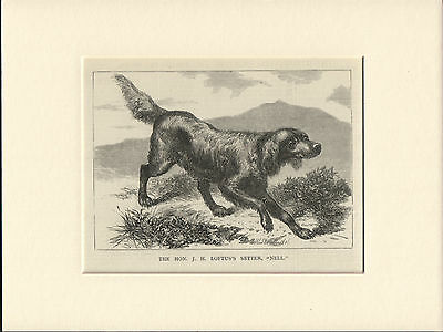 Irish Setter Old Antique Named Dog Engraving Print Mounted Ready To Frame