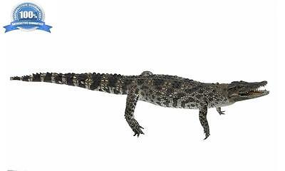 100% Real Genuine Freshwater Crocodile - Stuffed Taxidermy Mounted 100CM Large