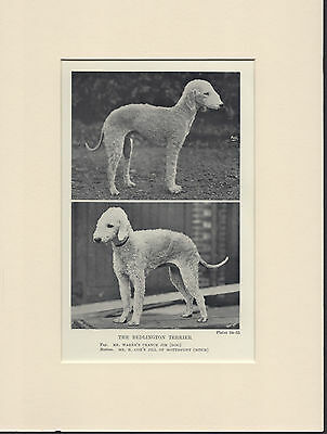 Bedlington Terrier Named Dogs Old 1930's Bookplate Dog Print Ready Mounted