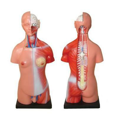 66fit Unisex Human Torso - 23 Parts - Anatomical Teaching Training Aid Model