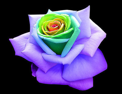 10 Semi Rosa Rainbow Rose - Seeds