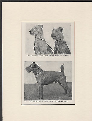 Irish Terrier Named Champion Dogs Old 1930's Dog Print Ready Mounted