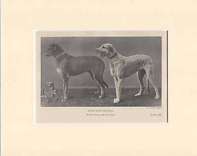Irish Wolfhound Named Dogs Old 1904 Dog Print Ready Mounted