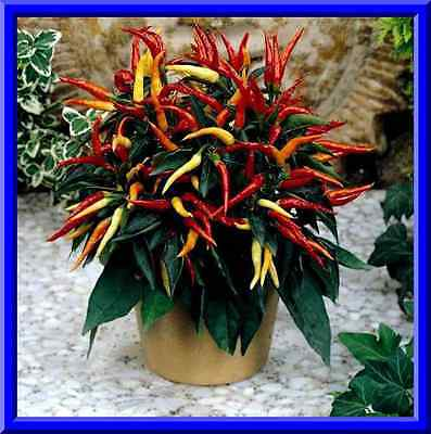 Comb S//H SEE OUR STORE! Masquerade Pepper Seeds Great hot taste!
