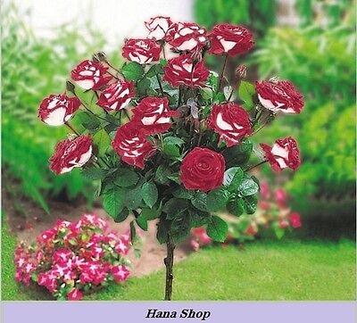 50 Seeds New Hybrid Variety White Red Rose Tree Flower Seeds, Professional Pack