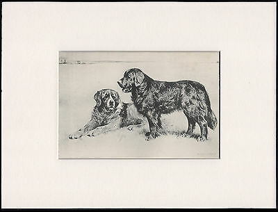Newfoundland Dogs Rare Antique 1898 Dog Print By Arthur Wardle Ready Mounted