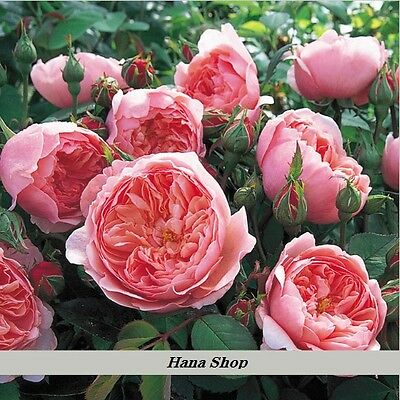 50 Seeds Rare DARK PINK CUPPED Flat Double Bloom ROSE Shrub Flower Seeds