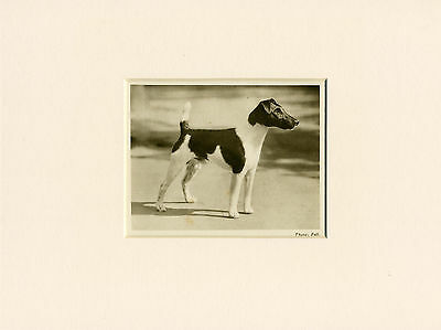 Smooth Fox Terrier Original Vintage 1931 Dog Print Mounted Ready To Frame