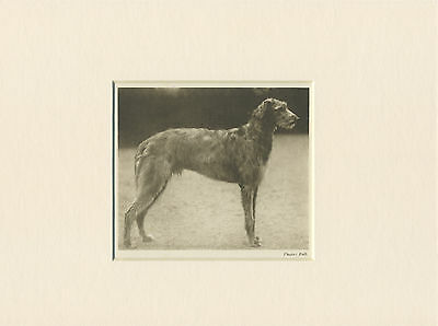 Deerhound Original Vintage 1931 Dog Print Mounted Ready To Frame