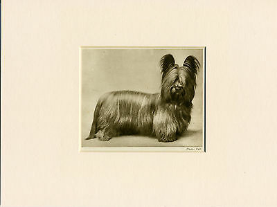 Skye Terrier Original Vintage 1931 Dog Print Mounted Ready To Frame