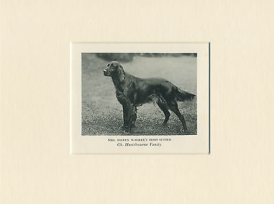 IRISH SETTER ORIGINAL VINTAGE 1930's NAMED DOG PRINT MOUNTED READY TO FRAME