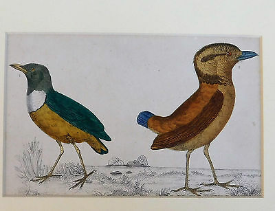 Vintage engraving of two tropical birds Natural history picture ornithology