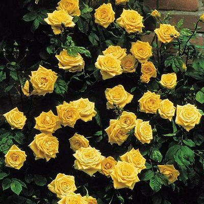 Climbing rose Golden Showers fragrant yellow bare rooted FREE DELIVERY