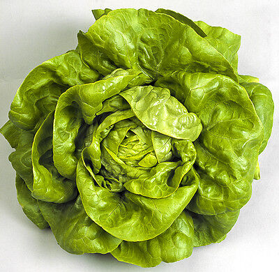 Lettuce seeds french All year round 2500 seeds fresh organic seeds bulk seeds