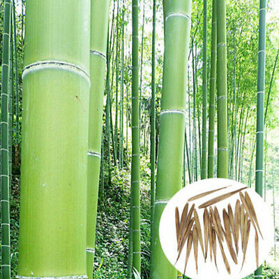 100+ Pcs Seeds Phyllostachys Pubescens Moso-Bamboo Seeds Garden Plants WB