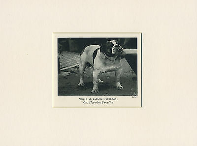 BULLDOG ORIGINAL VINTAGE 1930's OLD NAMED DOG PRINT READY MOUNTED TO FRAME