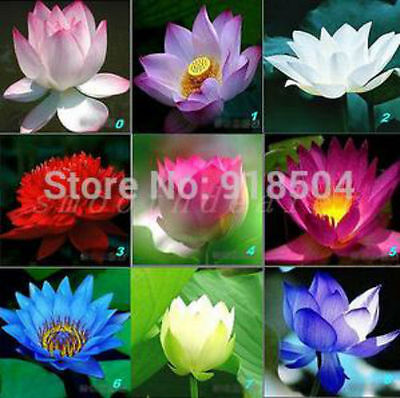 High Quality 10PCS 9 mix Lotus Flower Seeds Aquarium Seeds Lotus Plant Lotus