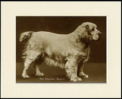 Clumber Spaniel Lovely Sepia Dog Photo Print Mounted Ready To Frame