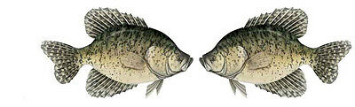 CRAPPIE DECAL HORIZONTAL new TWIN PACK